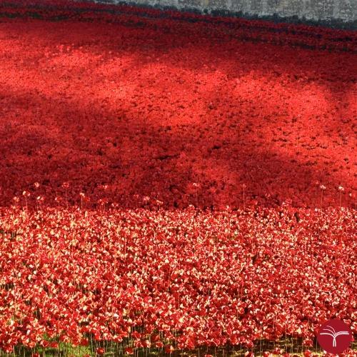 Papaveri Londra - Mare poppies II