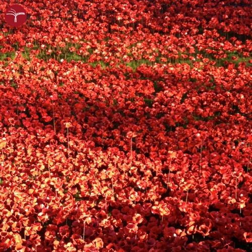 Papaveri Londra - Mare poppies