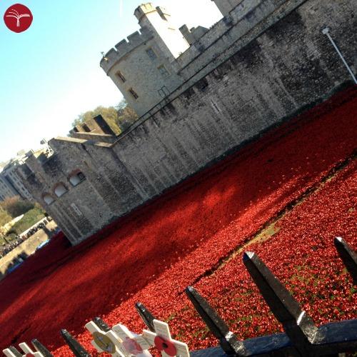 Papaveri Londra - Torre di traverso